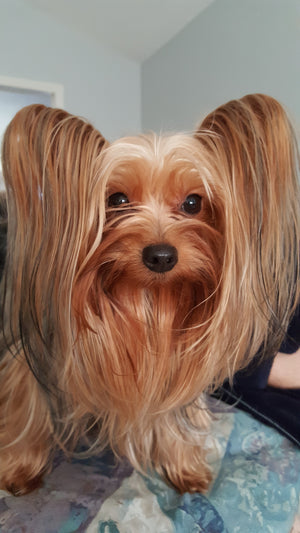 Steven Tyler the Yorkshire Terrier