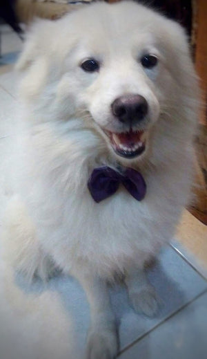 Prince Logan the Japanese Spitz