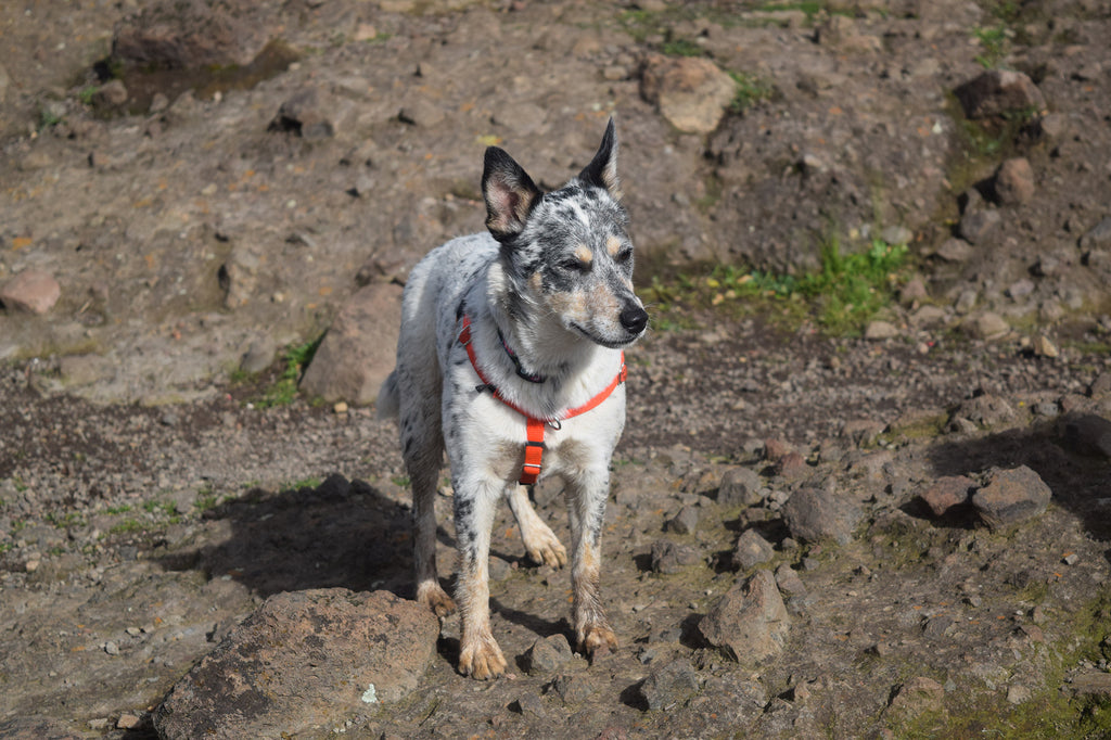 Darby the Australian Cattle Dog