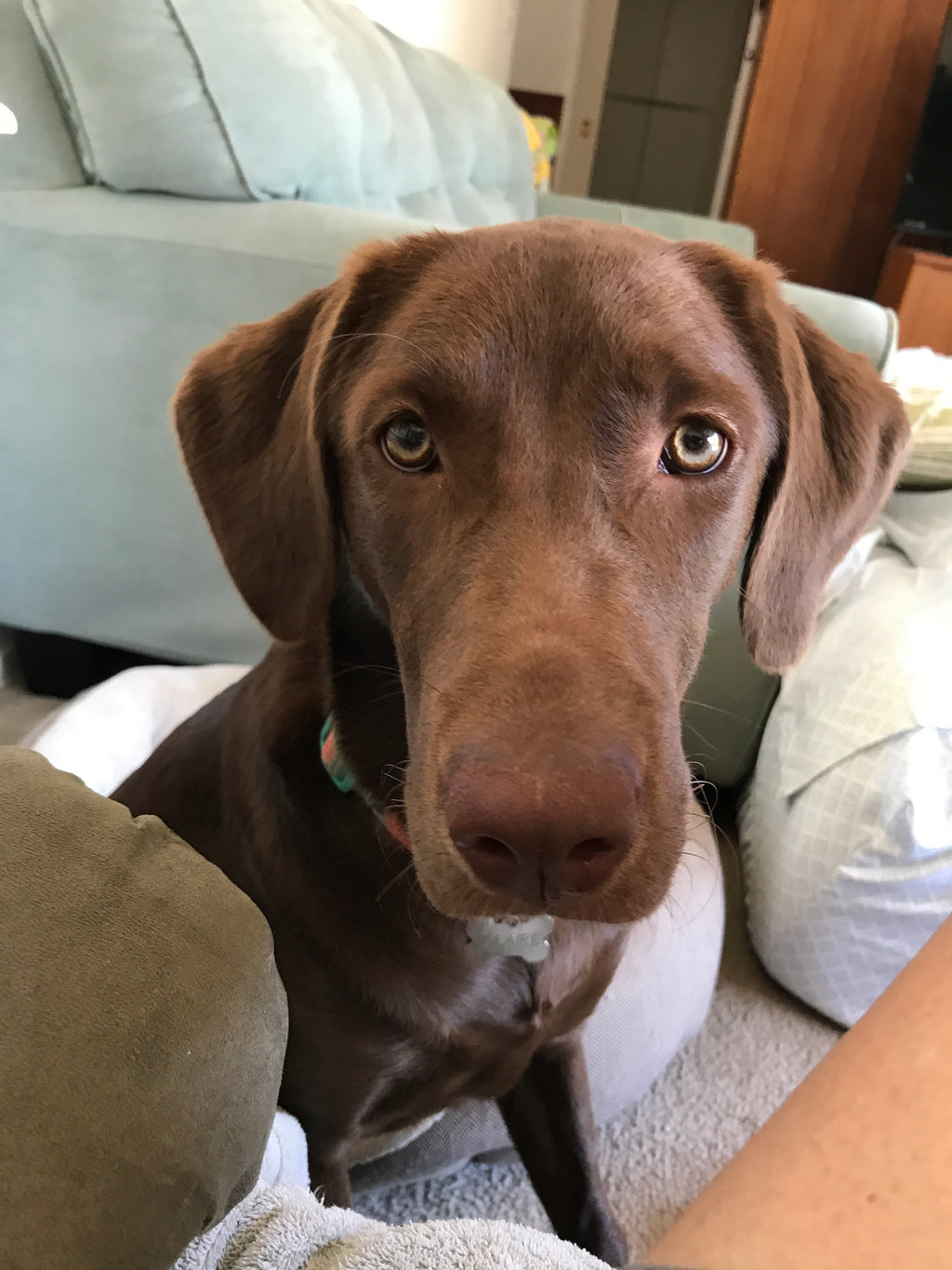 Eclaire The Chocolate Lab!