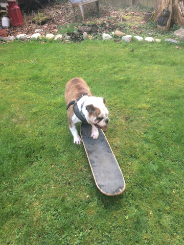 Homie the English Bulldog on a skateboard.