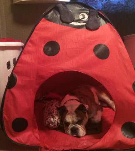 Homie sleeping in his ladybug tent.