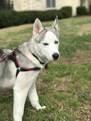 White Husky with harness