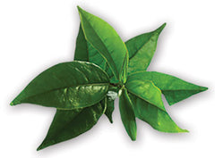 Tea Tree Leaves - Tripura Essential Oil