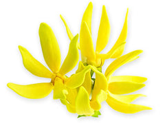 Ylang Ylang Flower - Tripura Essential Oil