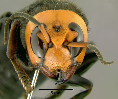 What is a Murder Hornet? (And Should We Be Concerned?)