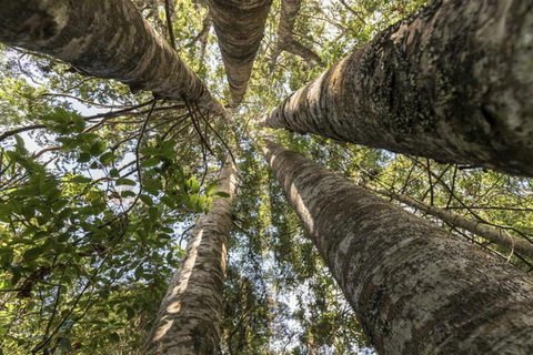 Guide to 5 Amazing Native New Zealand Plants - Kauri Trees New Zealand
