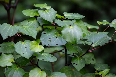 Kawakawa In The Wild - Guide to 5 Amazing Native New Zealand Plants - East Cape New Zealand