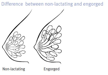 Difference Between Non-lactating & Engogred
