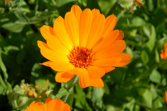 Calendula: of the Sun