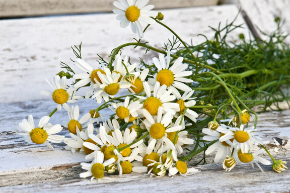 Chamomile: Small Wonder