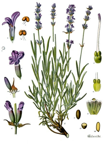 Lavender: The Seductive Sedative