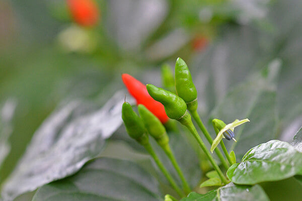 Birds Eye Chilli Natural Produce Indian Spices Malabar Coast