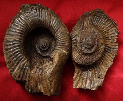 Tibetan Fossil Ammonite Stone (Two Parts)