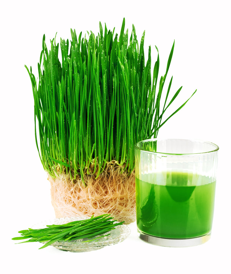 Avocado Ninja Vegus Fresh Wheatgrass Juice (7 day supply)