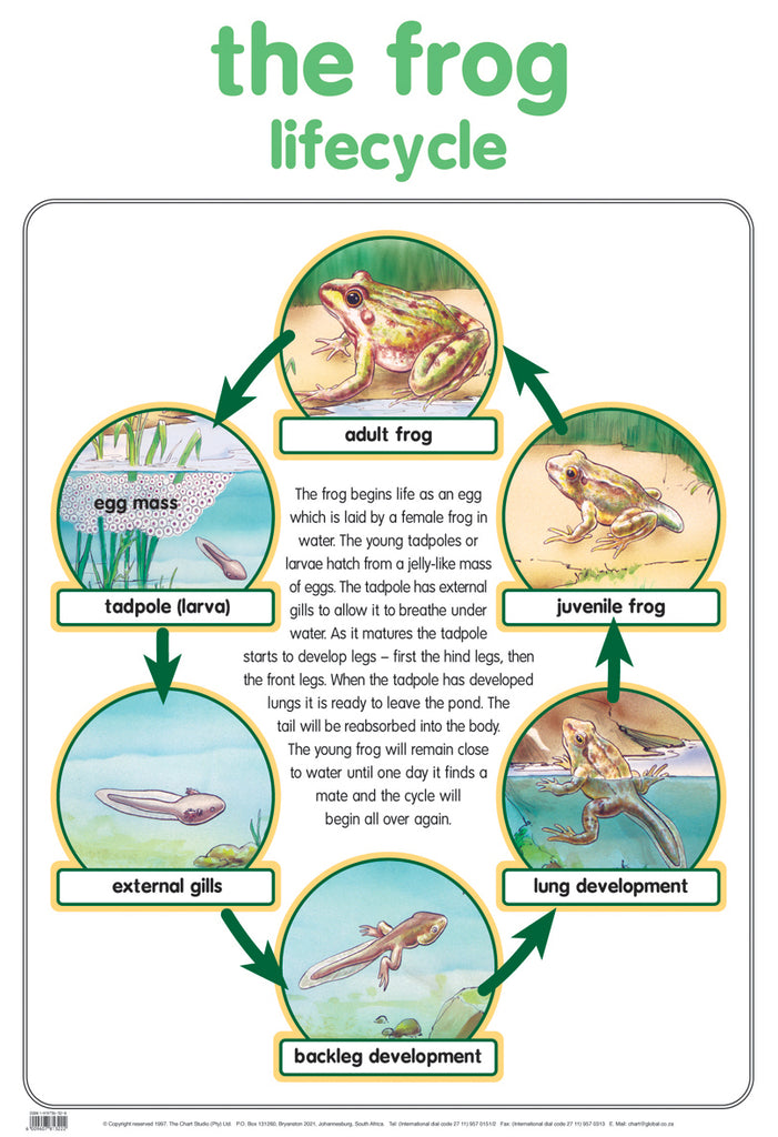 Poster - frog lifecycle