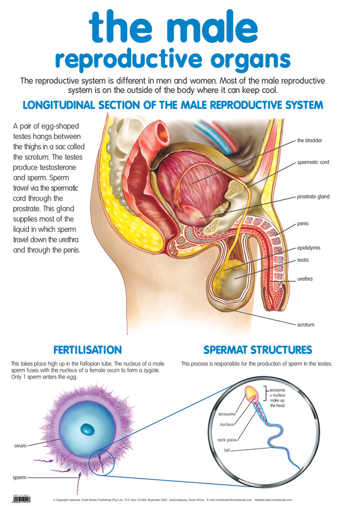 Poster - Male reproductive
