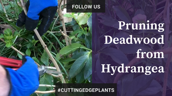 How to Prune Deadwood from Hydrangea macrophylla, Bigleaf Hydrangea