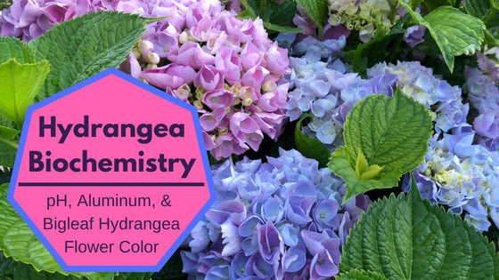 Hydrangea Color and pH