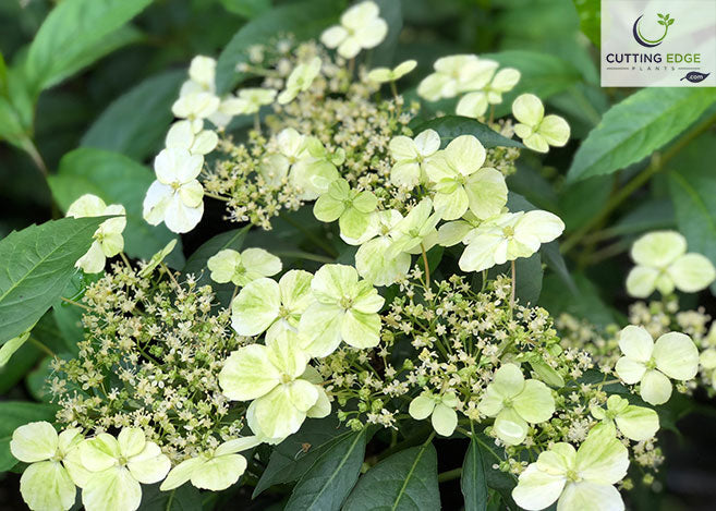 This Beautiful Hydrangea Hybrid Was Named 'Irish Lace' in a Naming Contest