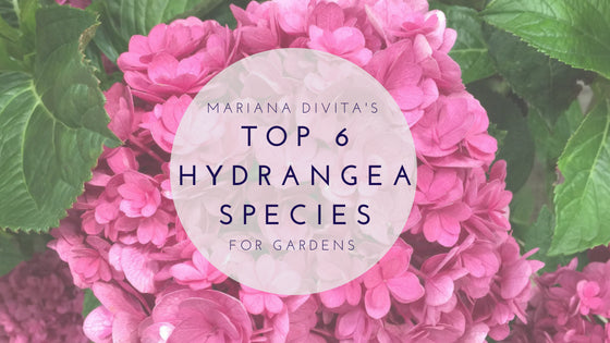 Top 6 Hydrangea Species for Gardens