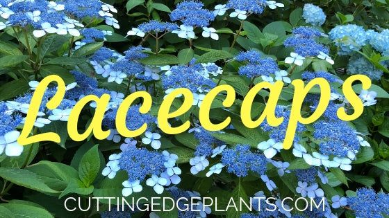 What is a Lacecap Hydrangea Flower?