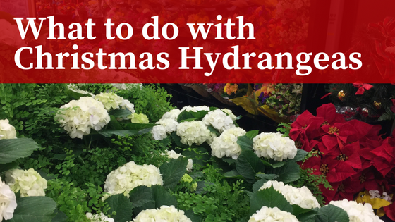 What to do with Christmas Hydrangeas