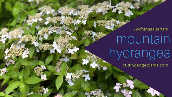 Hydrangea serrata, Commonly Called Mountain Hydrangea
