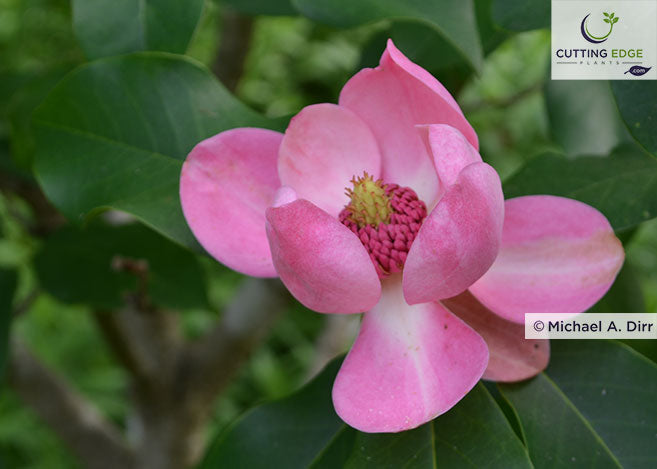 This Seductive Pink Magnolia Was Named Riveting Rosie in a Naming Contest