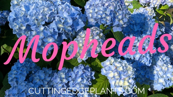 What is a Mophead Hydrangea Flower?