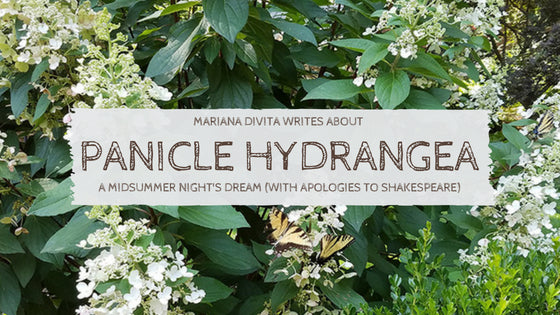 Panicle Hydrangea, What Fancy People Call Hydrangea paniculata