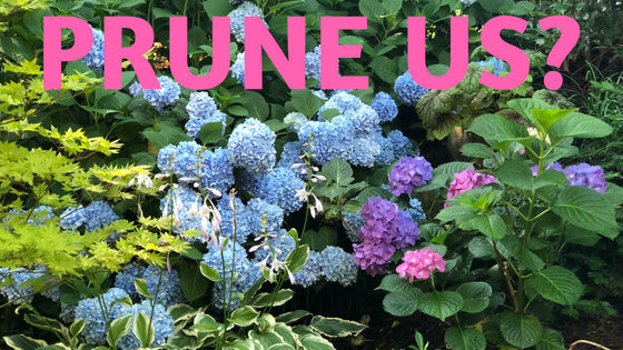 Do I Have to Prune My Hydrangeas?