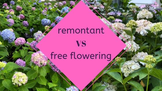 What are remontant and free flowering hydrangeas?