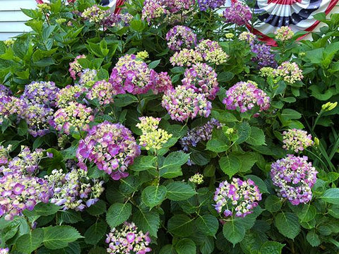 Hydrangeas for Sale