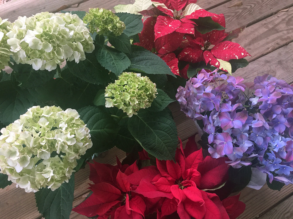 picture of two different Christmas hydrangeas with poinsettias