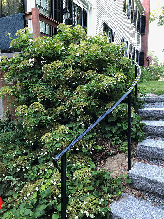 picture of climbing hydrangea on an embankment