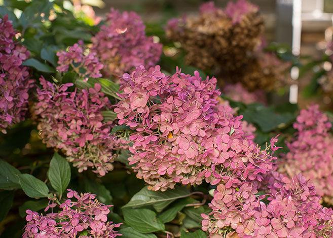 Vanilla Strawberry panicle hydrangea flower