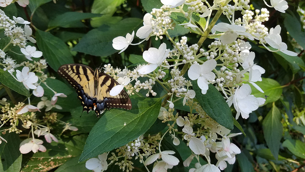 picture of a butterfly on a Hydrangea paniculata flower