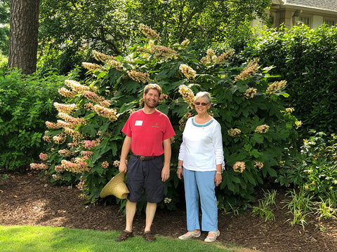 picture of a big oakleaf hydrangea with two people for scale