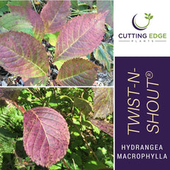 Twist n Shout Bigleaf Hydrangea fall color