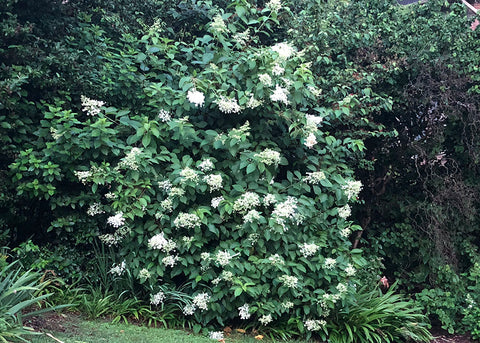 pic of a panicle hydrangea shrub
