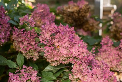 picture of panicle hydrangea flowers aging rosy pink