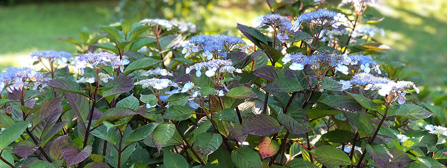 picture of a mountain hydrangea leaf with red tinting in sunny conditions