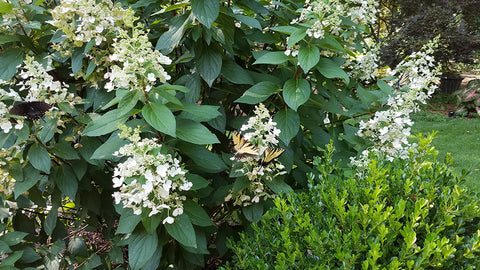 picture of panicle hydrangea with butterfly pollinator