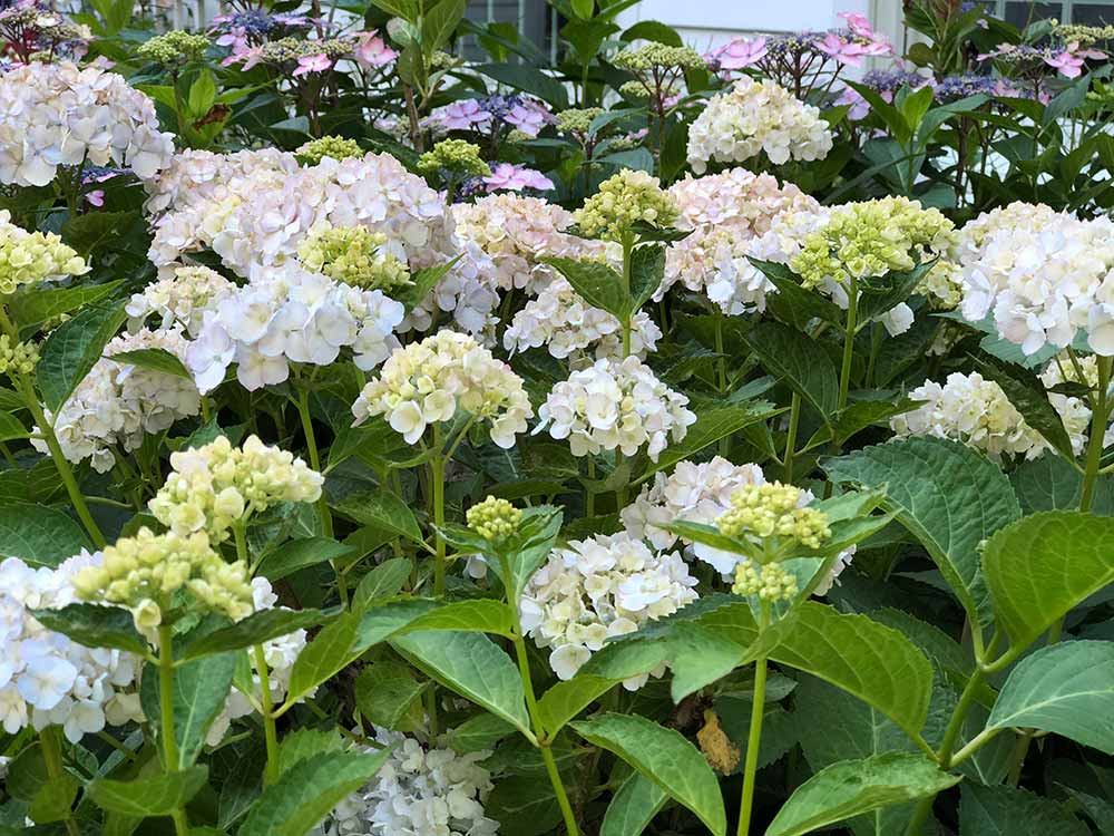 picture of a free flowering bigleaf hydrangea