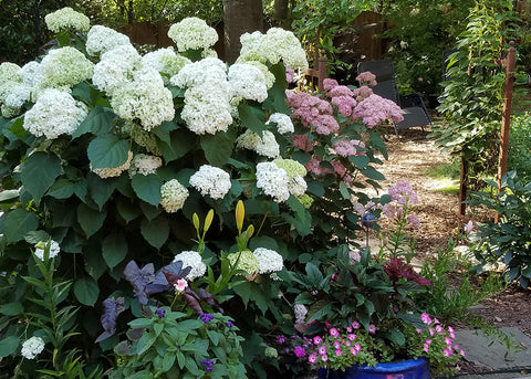 picture showing both the white flower and a pink flower types of smooth hydrangea