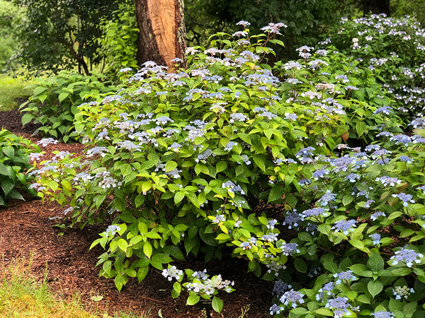 picture showing the smaller bush size of mountain hydrangea