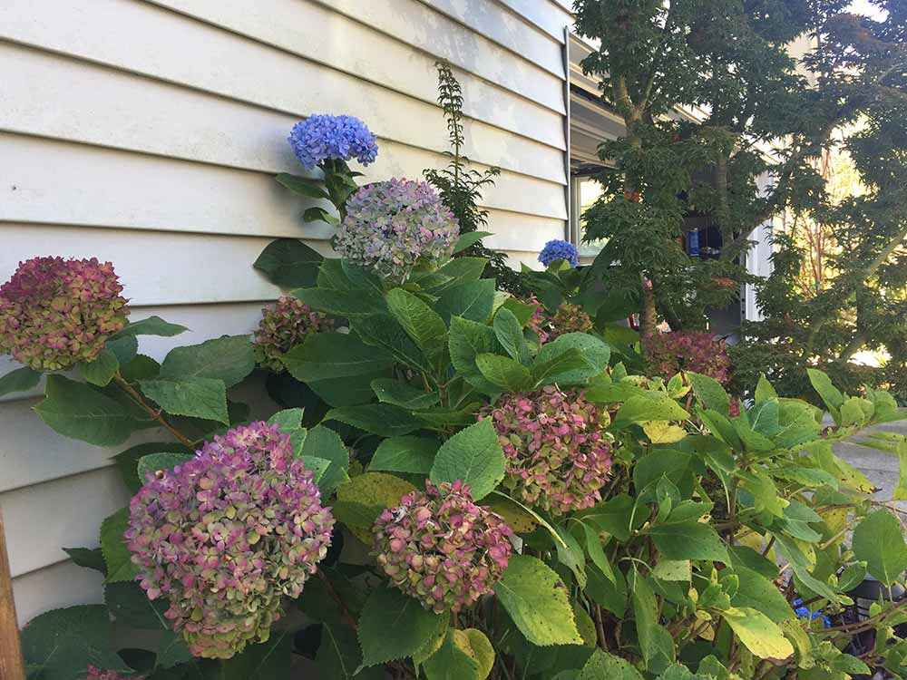 picture of a remontant bigleaf hydrangea
