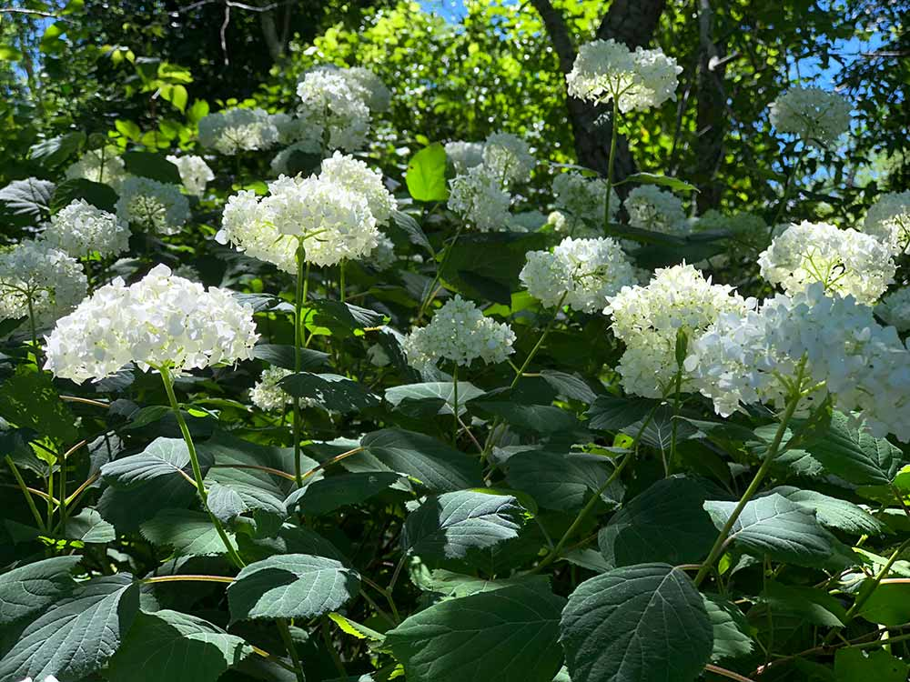 picture of smooth hydrangea flowers