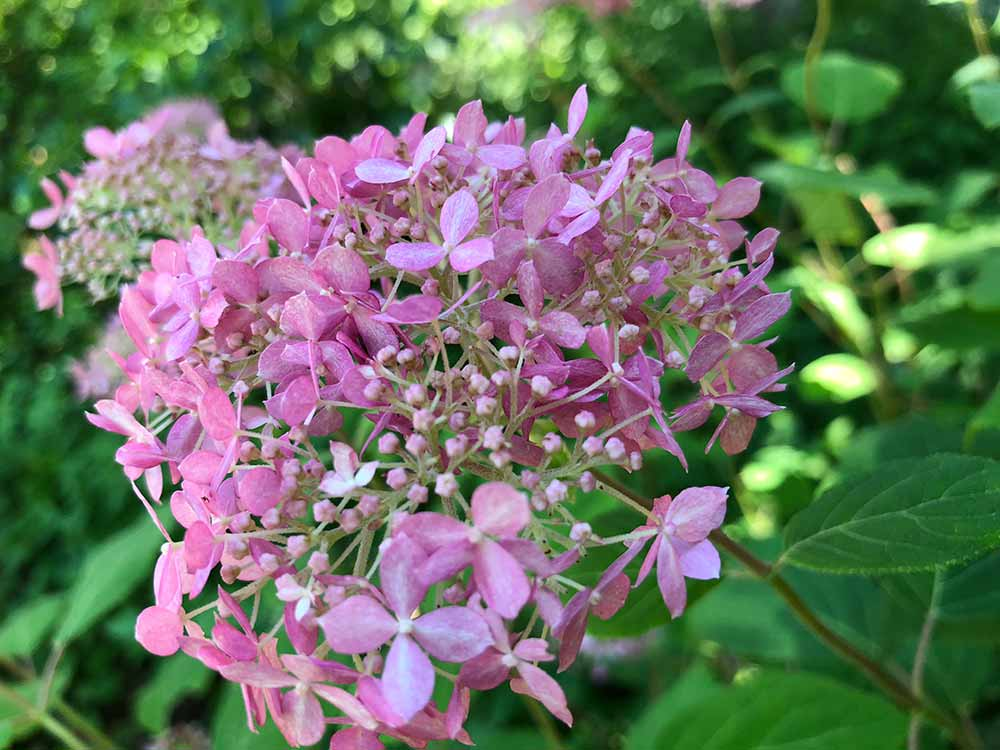 smooth hydrangea pink flower